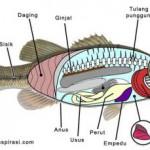 Percobaan Bedah Ikan Mas