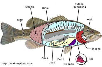Anatomi Ikan